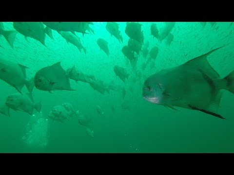Spearfishing For Spadefish