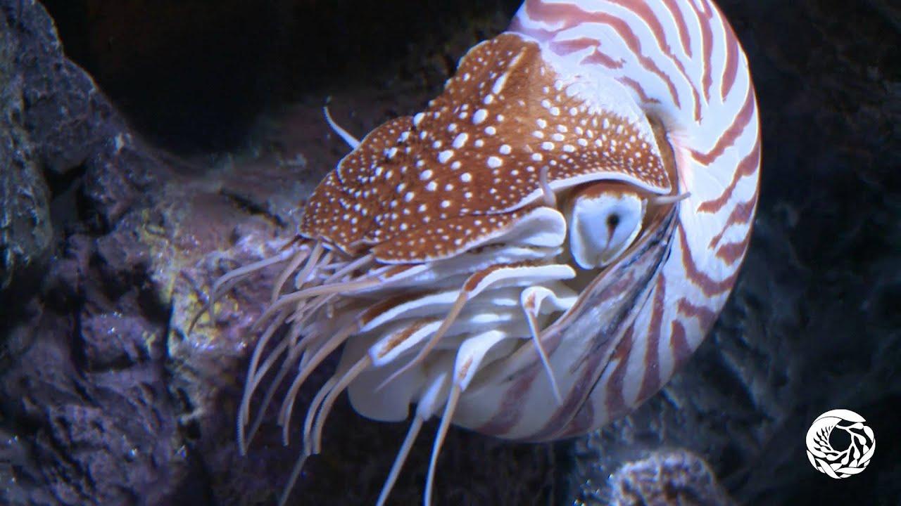 Nautilus Pompilius (band)