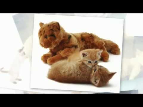 teacup bengal cat full grown