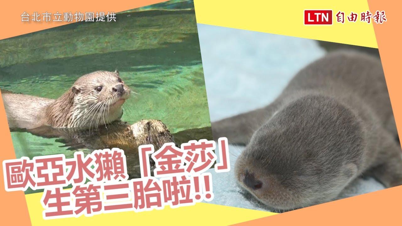 歐亞水獺「金莎」迎來第3胎 北市動物園公布性別 (台北市立動物園提供)