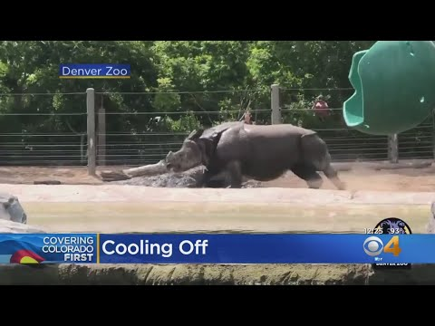 BEARDO - Rhino Finds A Way To Cool Off At Denver Zoo