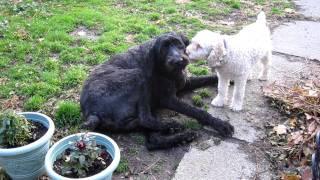 Standard Poodle Having Epileptic Seizure, 11-17-11.mov