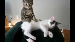 The best antics and funny moments of amazing cats! :)