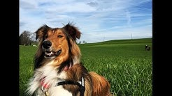 OLD TIME SCOTCH COLLIE