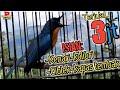Tledekan Gunung Gacor Tledekan Bambu Gacor Asli Isian Kenari Kapas Tembak Ciblek Kolibri  Mp3 - Mp4 Download