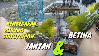 Gambar cover Cara membedakan burung cipow/sirtu jantan dan betina