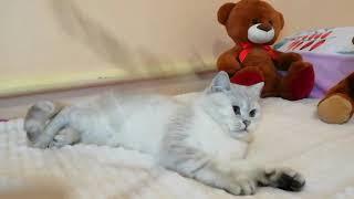 Британский кот черный серебристый затушеванный пойнт с голубыми глазами Andie