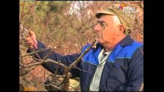 Обрезка персиковых деревьев(Чтобы собрать хороший урожай этого замечательного фрукта летом, приходится потрудиться и зимой., 2014-01-28T16:16:38.000Z)