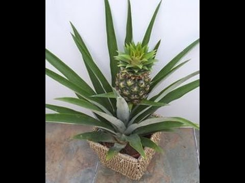 How to grow a pineapple plant from a pineapple youtube for How do i plant a pineapple top
