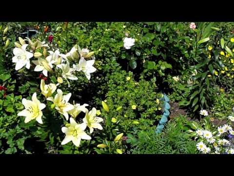 видео: Цветы во дворе. У Аси в саду.