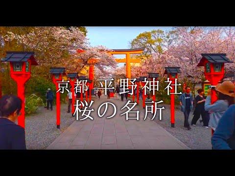 KYOTO Cherry blossoms in Hirano Shrine With Osmo Mobile 2 & HTC U Ultra