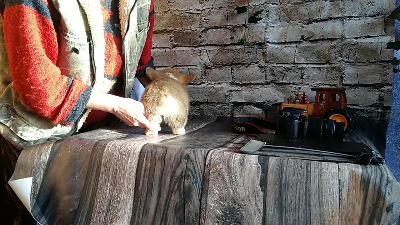 Щенок вельш-корги пемброк. Продажа. Племенной питомник. +7 904 650-19-96