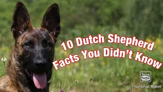 10 Dutch Shepherd Facts You Didn't Know!