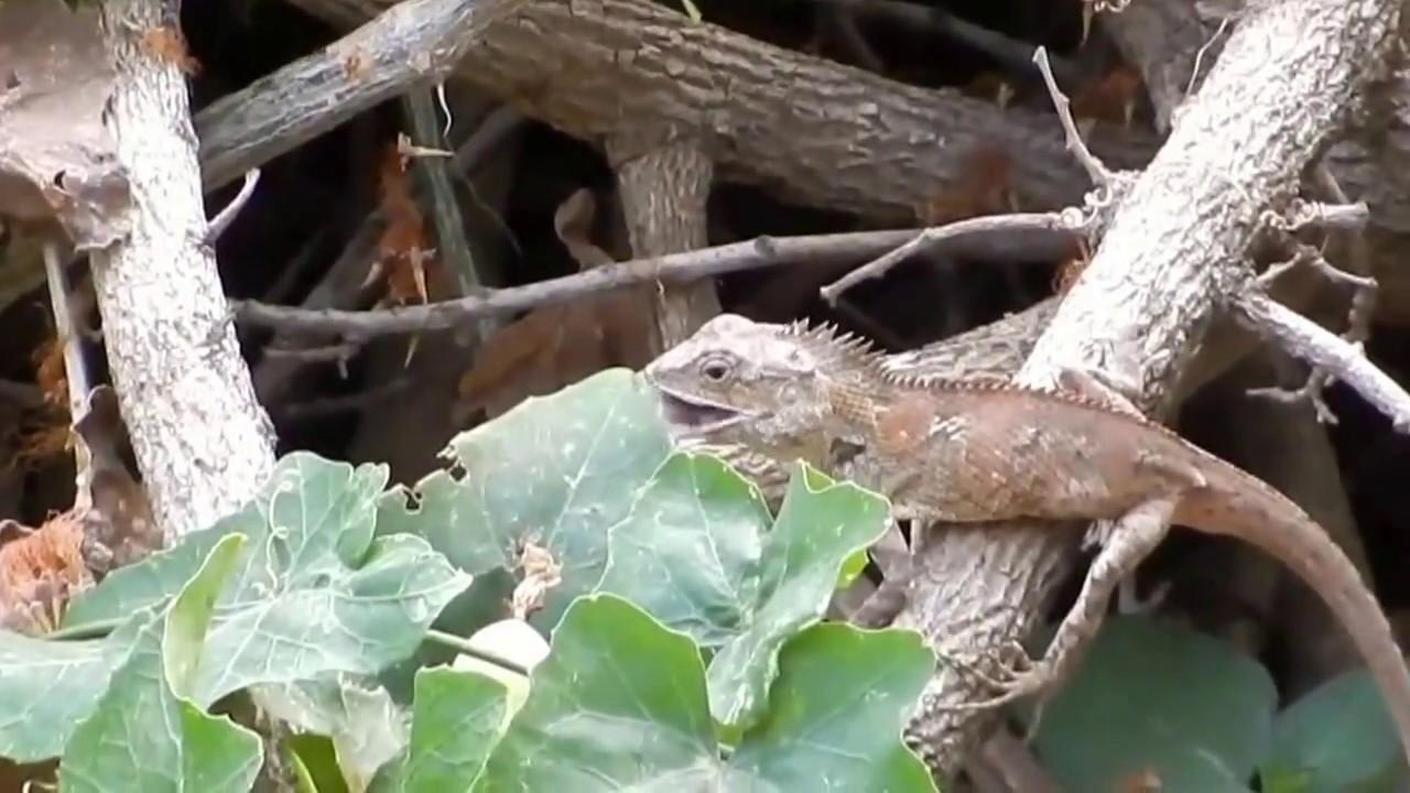 oriental garden lizard - Garden Lizard