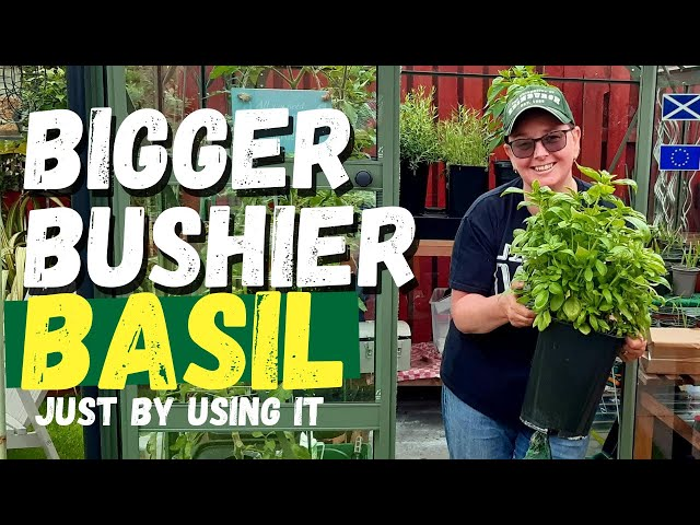 How to harvest basil for continuous growth