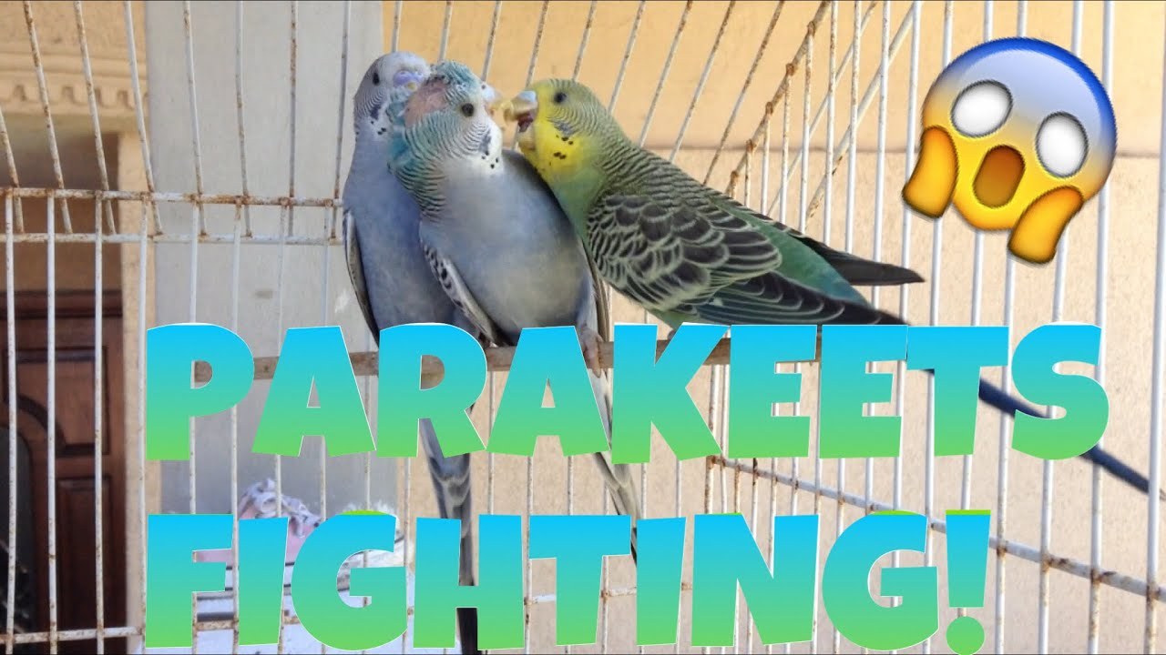 PARAKEETS FIGHTING!