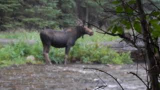 Moose in Rain & Hail at Shell Creek Campground (Lots of Blurry) - Bighorn National Forest - Wyoming