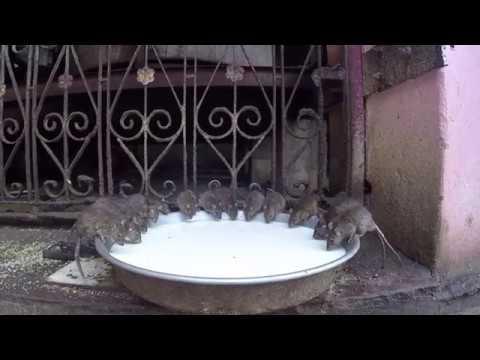 IL TEMPIO DEI TOPI? ECCOLO! KARNI MATA TEMPLE(India-Deshnok)