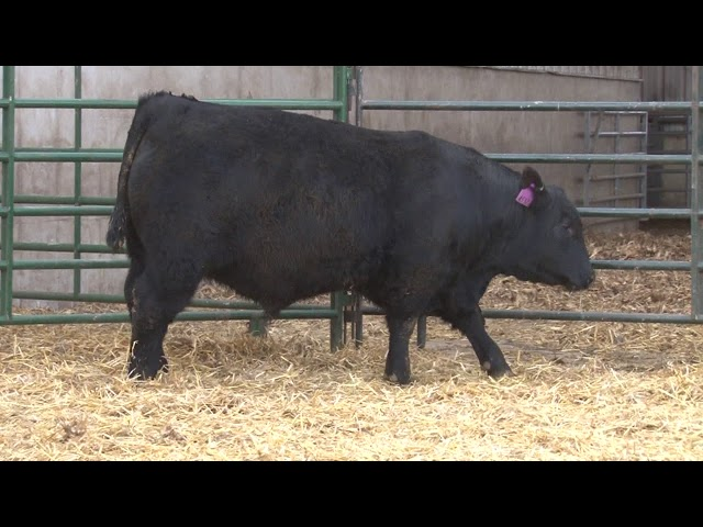 Schiefelbein Angus Farms Lot 40