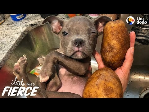 download Tiniest Puppy Loves His Pack Of Pit Bulls   The Dodo Little But Fierce