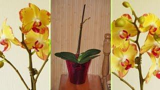 Орхидея Pappagayo 2 месяца = 2 листочка ✾ спасаю живые почки на цветоносе(Как остановить пожелтение цветоноса орхидеи. Можно воспользоваться мягким воском. В моем случае я пользуюс..., 2016-09-12T21:21:16.000Z)