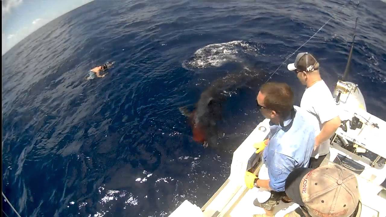 Mako Shark attacks Marlin