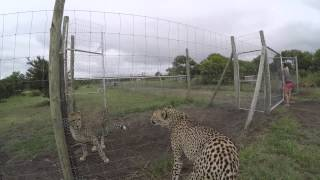 What sounds does a cheetah make?