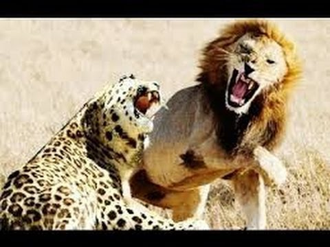 Documental - LA AMISTAD ENTRE EL LEON Y EL LEOPARDO | Animales Salvajes
