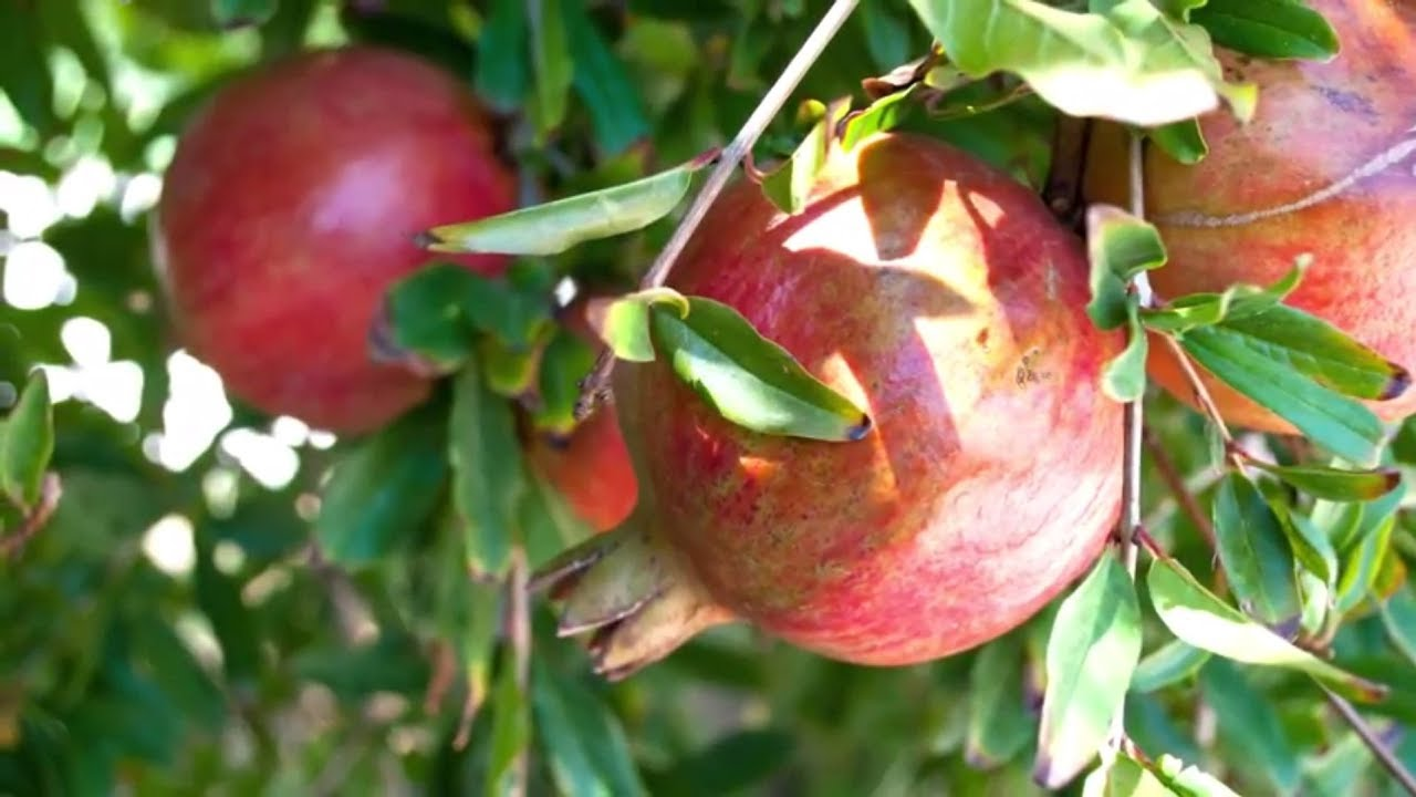 Moapa Valley Pomegranates