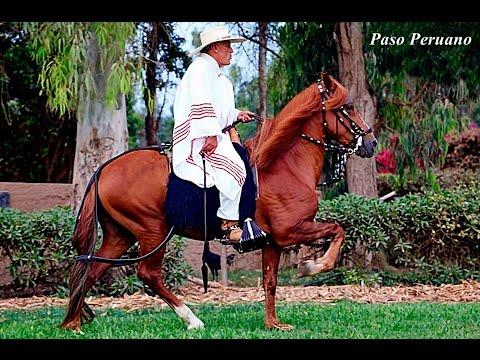 Caballo Peruano de Paso  ( Enfrenadura y Adiestramiento )