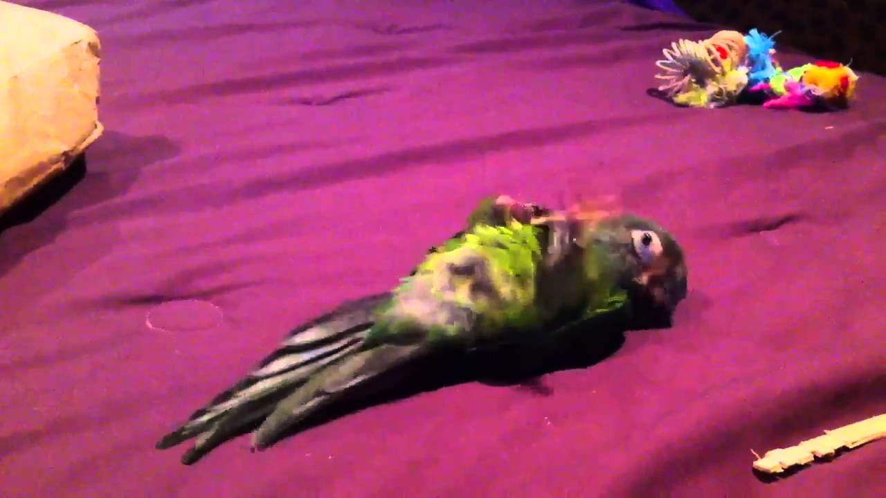 A Dusky Conure as a Pet Bird: An Affectionate and Clever