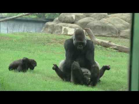 Gorillas in love at Atlanta Zoo