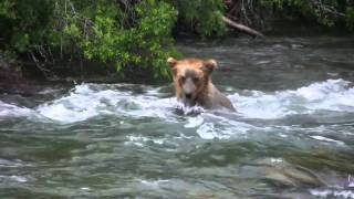 Alaska - Katmai National Park - Brooks Camp / Falls - Salmon Run - Grizzly Bear