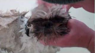 How To Bathe A Stinky Shih Tzu