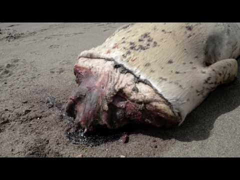 2ND HEADLESS SEAL found MUTILATED on the Same Beach in a Week! (Odd prints nearby!!)