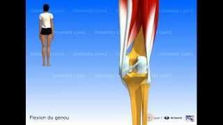 Les muscles de la cuisse : les ischio-jambiers