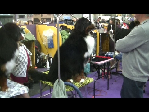 Bernese Mountain Dog Westminster dog show 2017