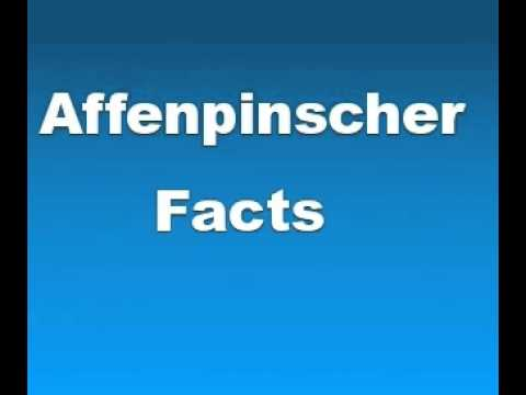 Affenpinscher Facts - Facts About Affenpinschers