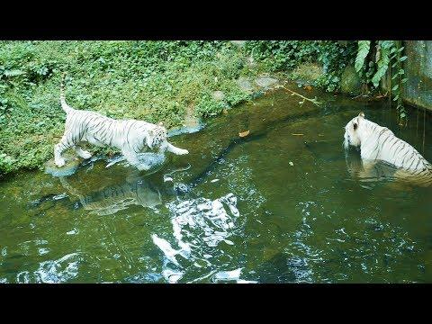 देखो शेर पानी में कितनी सावधानी से उतरते है.Wild Tiger Funny Video,Watch it enter in the water pond