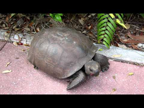 Gopher Tortoise Eating Hibiscus Flowers Project Noah