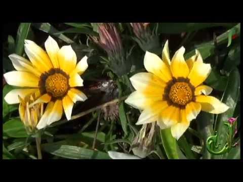 Beautiful flower - False blister beetle feeding on a Chrysanthemum