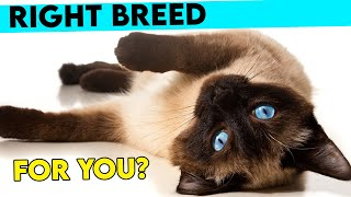 Is The SIAMESE CAT The Right Breed For You? How To Tell