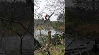 해송 고사목 고공벌목 트리서비스 천리포수목원 휠링센터