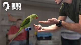 How to Get a Bird To Like Other People | Alexandrine Parakeet