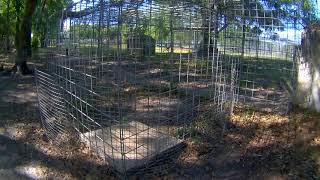 Lion and Tiger Feeding Station Cam 03-22-2018 07:30:17 - 08:30:18