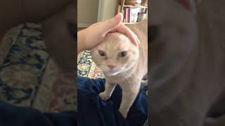Cat Protests Ears Being Pushed Back, then Headbutts Camera