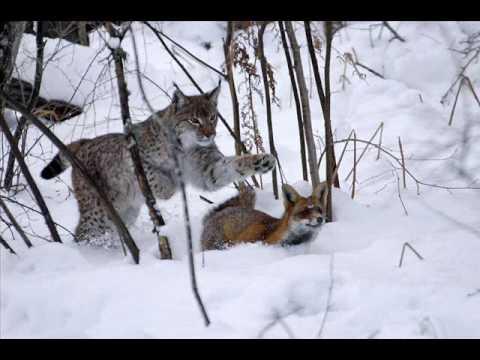 hqdefault - Le lynx d'Amérique du nord