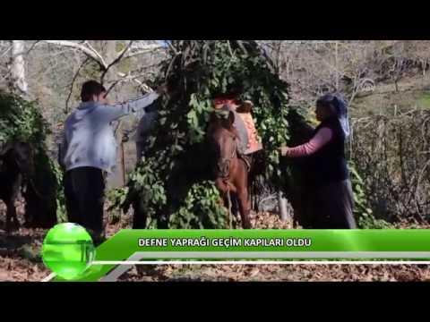 Orman Köylüsü Defne Yaprağıyla Geçiniyor