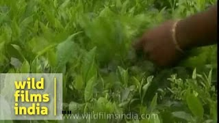 Indian tea garden workers pluck tea leaves - Assam