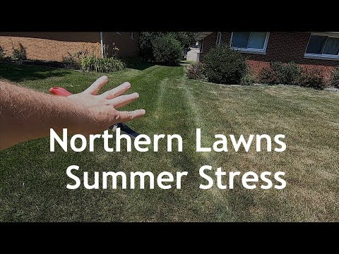 kentucky-bluegrass-lawns-in-summer-stress-and-recovery-|-nwindiana-part-1